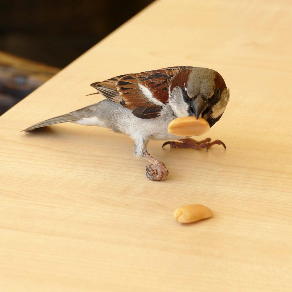 Varpunen vie pähkinää pöydältä.