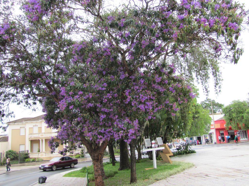 Suosittu puistopuu Ipê hohtaa kukkiessaan violettina, taustalla näkyy brasilialaista uusklassismia edustava kirkko