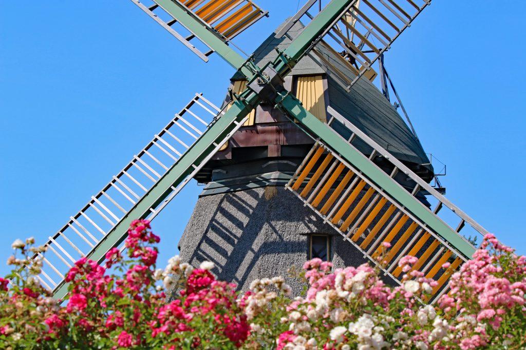 Vanhan ajan tuulimylly. Etualalla värikkäitä kukkia.